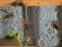 マツムシの幼虫が、新たに孵化した?