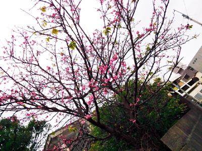 那覇市内某所の桜