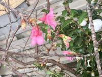 早くも桜が!
