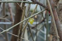 地植えの蝋梅がやっと咲いてくれました