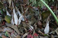今年も咲いたシモバシラの氷花_2011