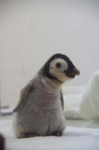エンペラーペンギンっ子