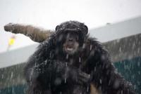チンパンジーも