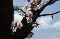 苫小牧の桜