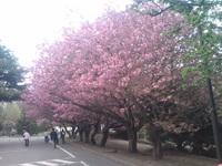 桜満開!札幌マルシェ