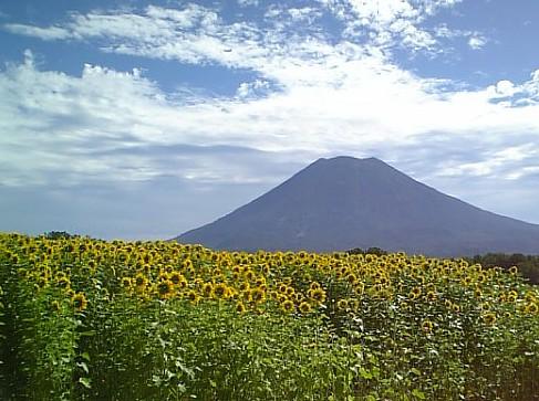 東山花の丘のひまわり。