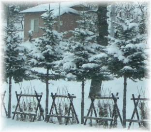 旭川の街路樹?ツリー