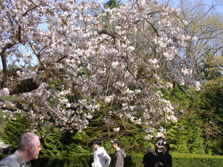 スタンレーパークの桜