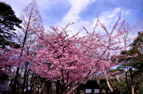 河津桜三重奏(林紙公園)