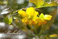 """"""" ミッキーマウスの木 """" の花が咲きました~!"""