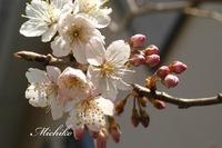 """"""" さくらんぼの花 """" が咲きました"""