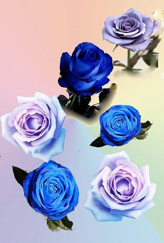 花の不思議(青いバラ)
