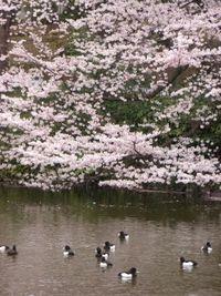 桜とキンクロ