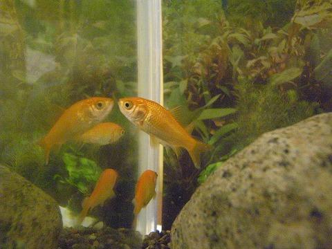 金魚復活!