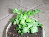 窓辺の野菜