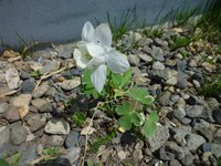 オダマキの花の色