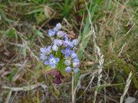 青い小花が涼しげなチシマセンブリ