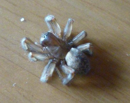 狩り蜂に麻酔されたクモの行方