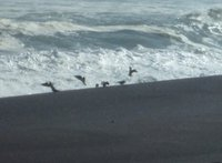 砂浜で海水を飲むアオバト
