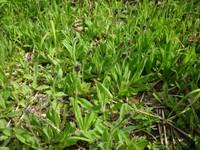 高山に侵入する外来植物