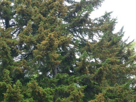 大量に飛散したエゾマツ花粉