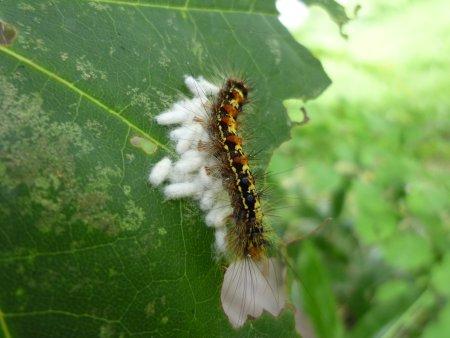 マイマイガの寄生蜂