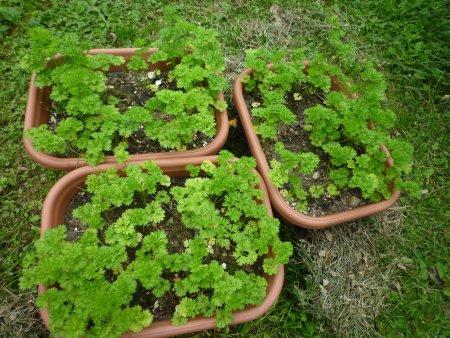 家庭菜園の収穫と原発事故