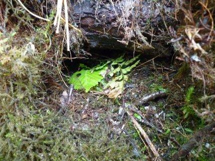 加森観光のサホロ岳北斜面スキー場予定地にはナキウサギが生息!