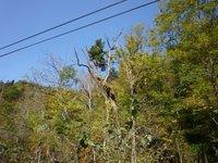 ミズナラの樹上に生えたエゾマツ