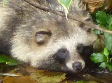 斜面からころげ落ちて狸寝入りするエゾタヌキ