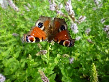 ペパーミントに集まるチョウ