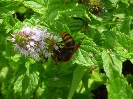 マルハナバチを襲うケブカスズメバチ
