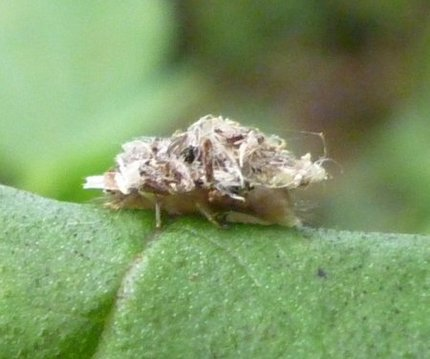 ゴミを背負うクサカゲロウの幼虫
