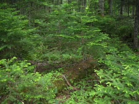 倒木上更新とエゾマツの森