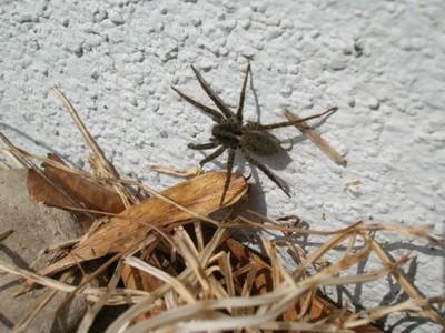 春一番のウヅキコモリグモ