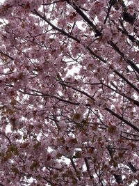 サクラ桜さくら