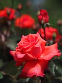 5月のバラ? 2017