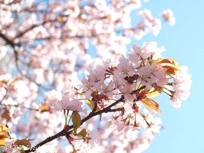 宮の森日記●桜