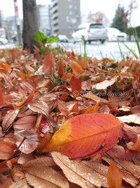 宮の森日記●落葉