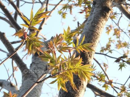 宮の森日記●若葉