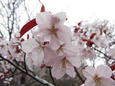 桜満開も・・・