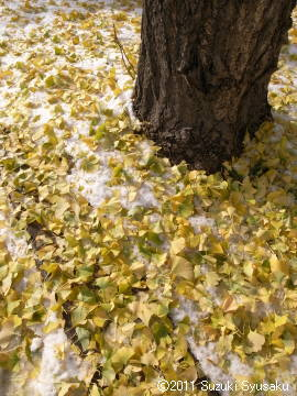 宮の森日記●イチョウと新雪