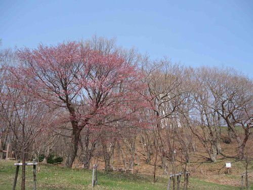 桜、これから
