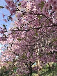 ◇河津桜満開◇
