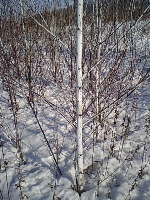 白樺(実はケショウヤナギ)の白さに陶然/札内川トレッキング