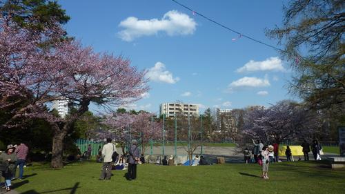 札幌市円山公園の桜2015